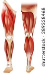 poster of front and back leg... | Shutterstock .eps vector #289328468