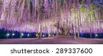 Giant Wisteria  Ashikaga  Japan