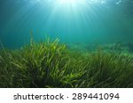 Green Sea Grass Underwater And...