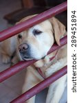 Labrador Dog Breed Bored After...