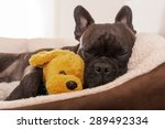 French Bulldog Dog Having A...