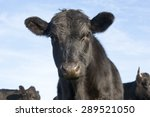 Curious Black Angus Calf