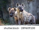 hyena 2 stood on a rock in the... | Shutterstock . vector #289609100