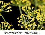 Flowering Dill On A Black...