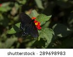The Pipevine Swallowtail...