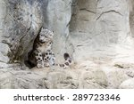 Snow Leopard In A Zoo