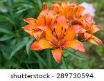 Lillies In Garden