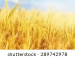 cropped image of a wheat crop... | Shutterstock . vector #289742978