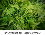 Green Bracken Plant Background...