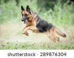 german shepherd jumping and...   Shutterstock . vector #289876304