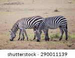 Three Zebras Grazing In Masai...
