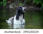 Dog English Springer Spaniel I...