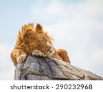 Lion Sleeping On Rock In Wild...