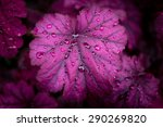 heuchera after rain | Shutterstock . vector #290269820