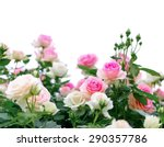 Stock photo climbing pink roses on white background 290357786