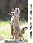 meerkat | Shutterstock . vector #290389460