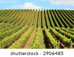 new zealand vineyard  ... | Shutterstock . vector #2906485