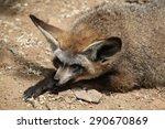 bat eared fox  otocyon... | Shutterstock . vector #290670869