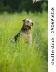 Small photo of Airedale terrier dog sitting in green grass on a sunny summer evening stroll.