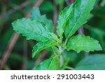 fresh organic basilic leaves in ... | Shutterstock . vector #291003443