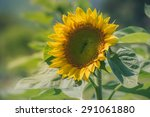 Plant Of Sunflower On Blooming...