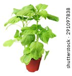 spinach plant in brown pot... | Shutterstock . vector #291097838