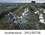 tequila  jalisco  mexico  ... | Shutterstock . vector #291150728