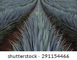 agave field for tequila... | Shutterstock . vector #291154466