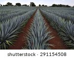 Agave Field For Tequila...