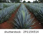 agave field for tequila...   Shutterstock . vector #291154514