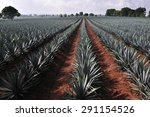 agave field for tequila... | Shutterstock . vector #291154526