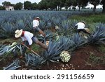 tequila  jalisco  mexico  ... | Shutterstock . vector #291156659