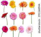 Flower  Single Flower  Gerbera...