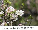 beautiful flowers on the tree... | Shutterstock . vector #291201623