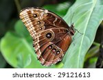 Leaf With Tropical Morpho...