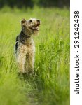 Small photo of Airedale terrier dog running in the green grass sunny summer evening.