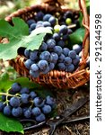 Fresh Harvest Of Grapes....