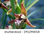 Small photo of SAO PAULO, SP, BRAZIL - NOVEMBER 19, 2011 - Orchid Maxillaria tenuifolia, Orchidaceae originating in the Central America