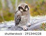 Hawk Owl In A Mountain Forest
