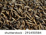 Small photo of acheta domesticus larva close up