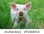 Piglet On Spring Green Grass O...