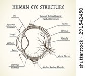 vector structure of the human... | Shutterstock .eps vector #291542450