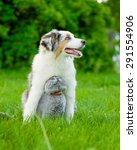 Stock photo australian shepherd puppy and cat sitting together on the green grass 291554906