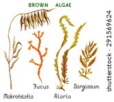 Set Of Watercolor Brown Algae...