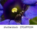 Small photo of Macro image of a black ant on an alpine Gentian flower