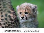 Close Up View Of A Cheetah Cub