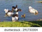 parent geese swim in clean... | Shutterstock . vector #291733304