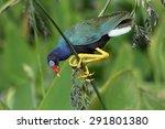 purple gallinule in natural... | Shutterstock . vector #291801380
