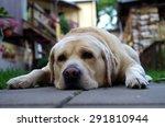 yellow labrador retriever... | Shutterstock . vector #291810944