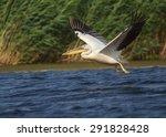 white pelican flying over water ...   Shutterstock . vector #291828428